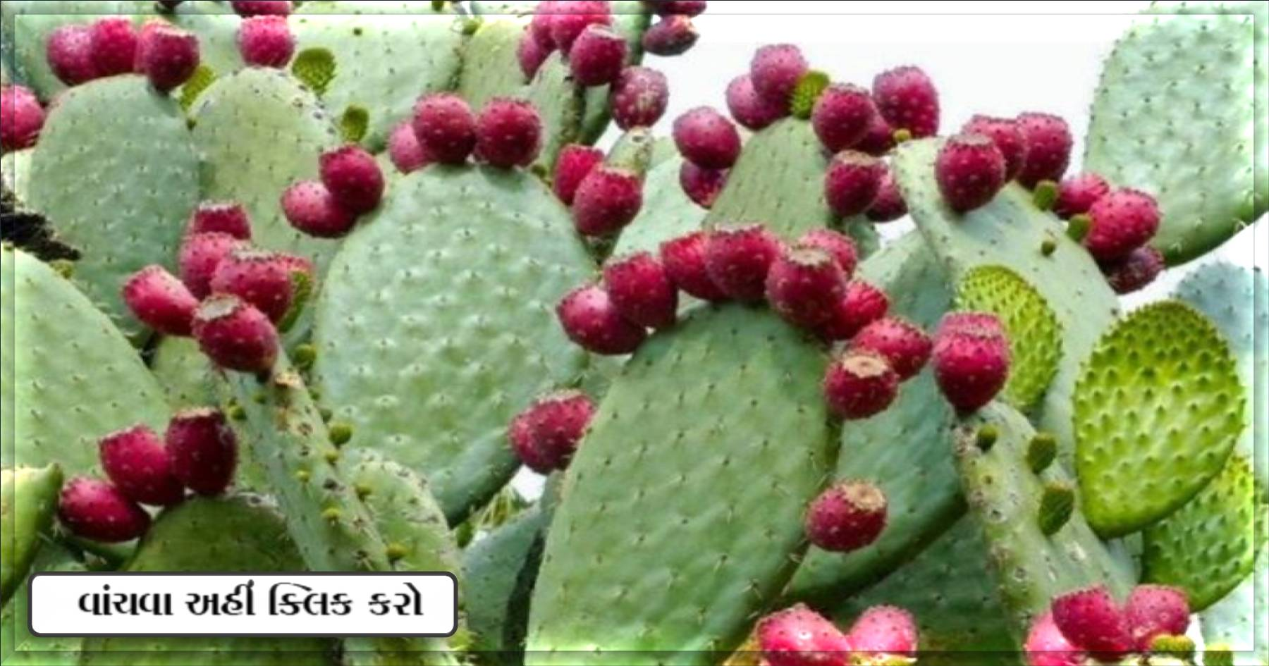 ફિંડલા એક એવુ ચમત્કારીક ફળ છે, જે રોગોને જડમુળથી કરે છે દુર…આ રીતે કરો લોહી ની ઉણપ વાળા આનું સેવન