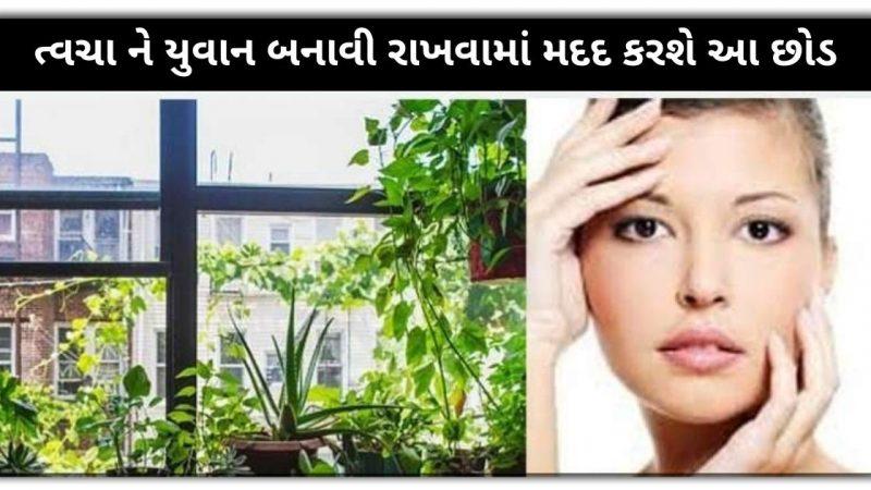 ત્વચા ને યુવાન બનાવી રાખવામાં મદદ કરશે આ છોડ, મળશે બીજી ઘણી સમસ્યાઓથી છુટકારો, જાણી લો આજેજ